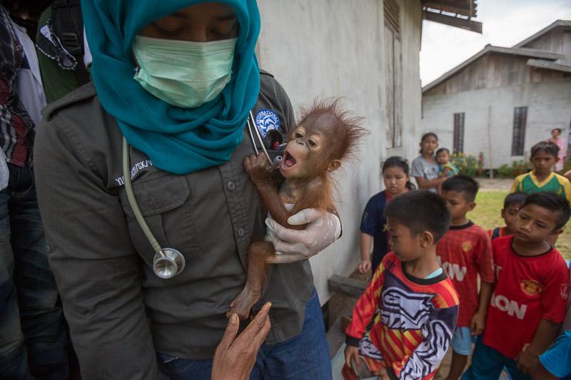 Motherless by Tim Laman The Unfolding Tragedy of Wild Orangutans