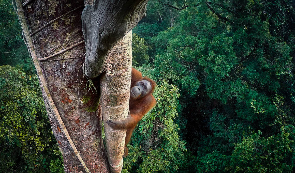The Unfolding Tragedy of Wild Orangutans