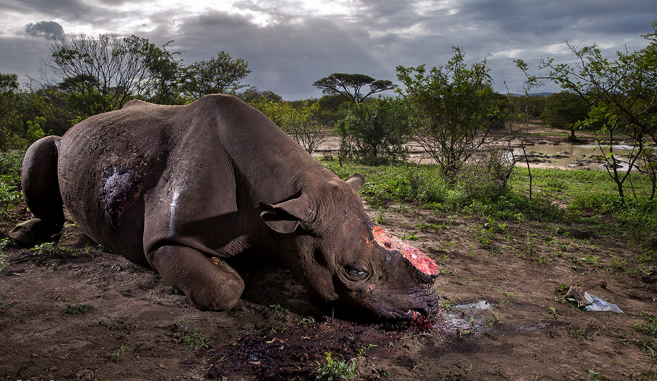 Memorial to a species © Brent Stirton wildlife photographer of the year 2017