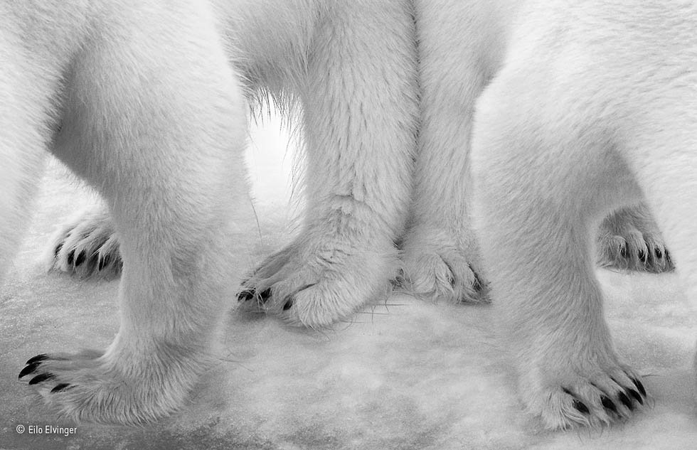 Polar pas de deux © Eilo Elvinger winner wildlife photographer of the year 2017