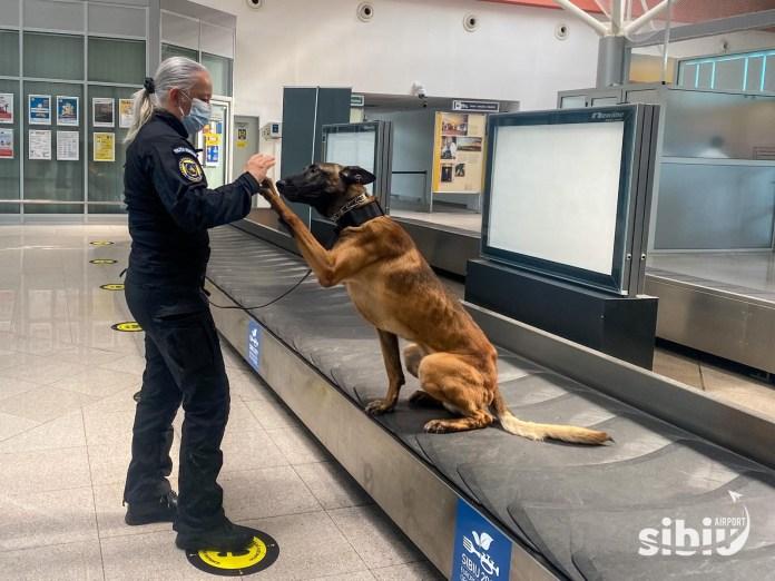 Câini care pot depista infecția cu Covid-19, folosiți, în premieră, în România, la Aeroportul Internaţional Sibiu