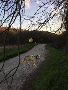 Un Loup aperçu à Gif Sur Yvette