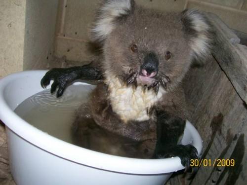 koala_in_bucket_04