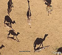 Camels in Google Earth