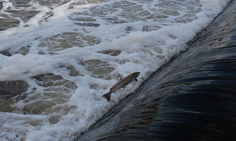 salmon_leaping