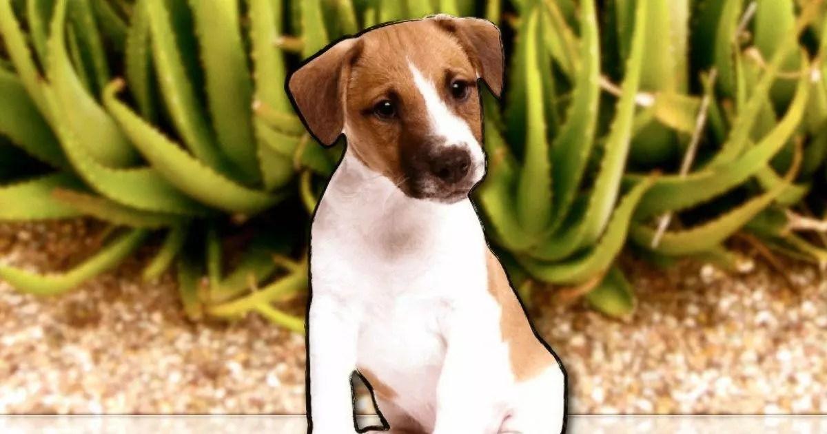 El Aloe Vera como suplemento para reducir el Estrés del Perro