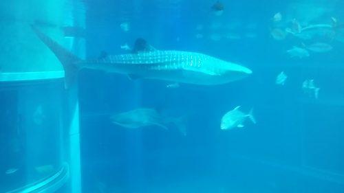Aquarium requin baleine