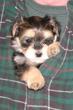 Homer: Pocket Pup