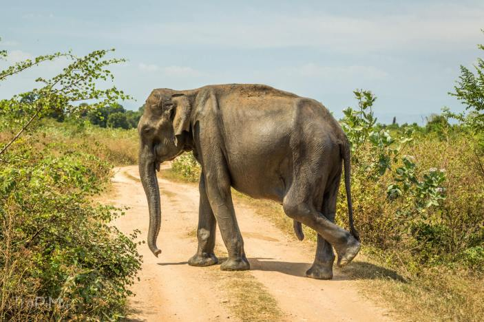 Udawalawe - słoń