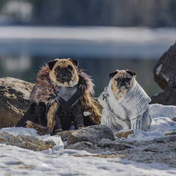 Game of Thrones Pugs Impersonate Jon Snow and Daenerys Targaryen + The Pugs of House Stark