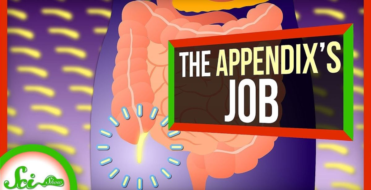 Your Appendix Isn't Useless, After All [Science Video]
