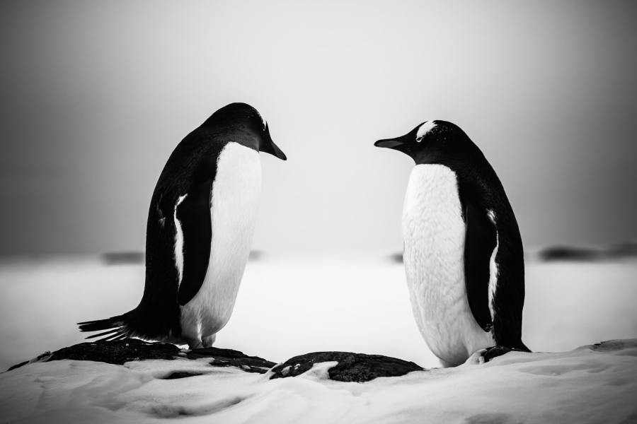 two identical penguins resting