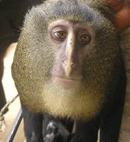 Newly discovered Lesula monkey