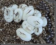 Corn snake eggs - yuk