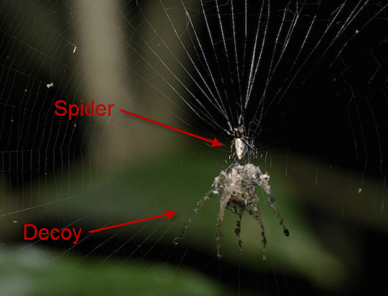 Spider builds exact replica of itself as a decoy