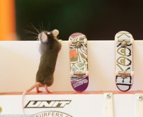 Skateboarding mouse gets ready to hit the concrete