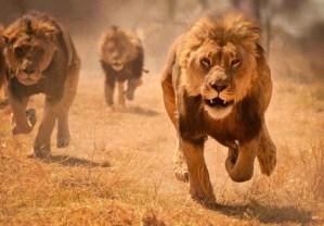 Lions running