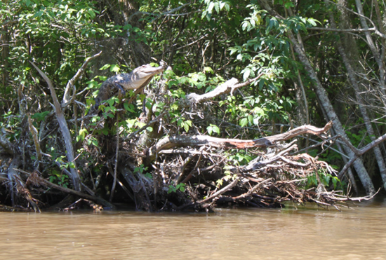 An American alligator perches on a tree branch in Pearl River Delta, Mississippi