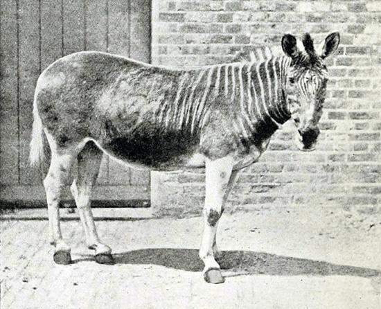 Extremely rare photograph of a Quagga
