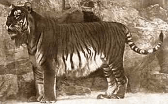 Rare photograph of a Caspian Tiger