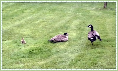 POD: Geese Family
