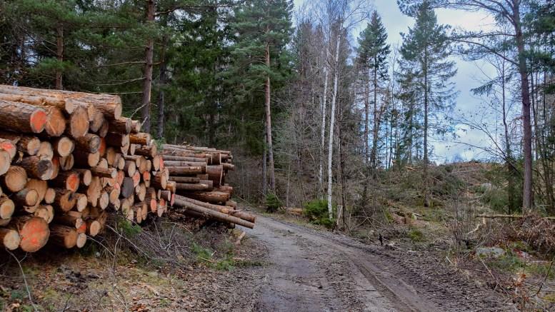 TØMMERHOGST: Det er trist når skogen blir borte, men det er ikke alltid fordi det skal bygges noe i områdene der trærne forsvinner. Foto: Esben Holm Eskelund