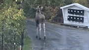 JAKTET DENNE: Dette bildet er tatt av naboer som har meldt elgen til politiet, som igjen varslet Viltnemnda. Foto: Privat