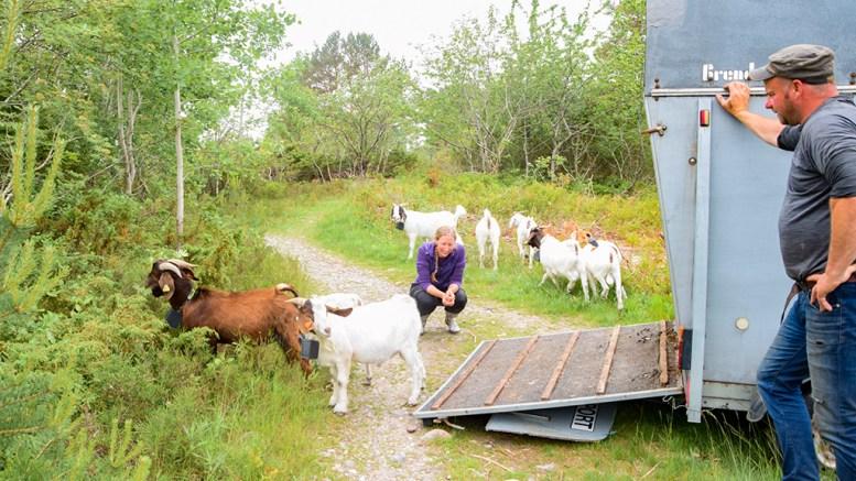 FRITTGÅENDE GEITER: Nasjonalparkforvalter Jenny Marie Gulbrandsen var med da geitene på Spornes ble flyttet til et nytt område fredag. Nå skal det testes ut om dyrene kan beite uten gjerder og uten å havne i konflikt med turgåere og bikkjer. Foto: Esben Holm Eskelund