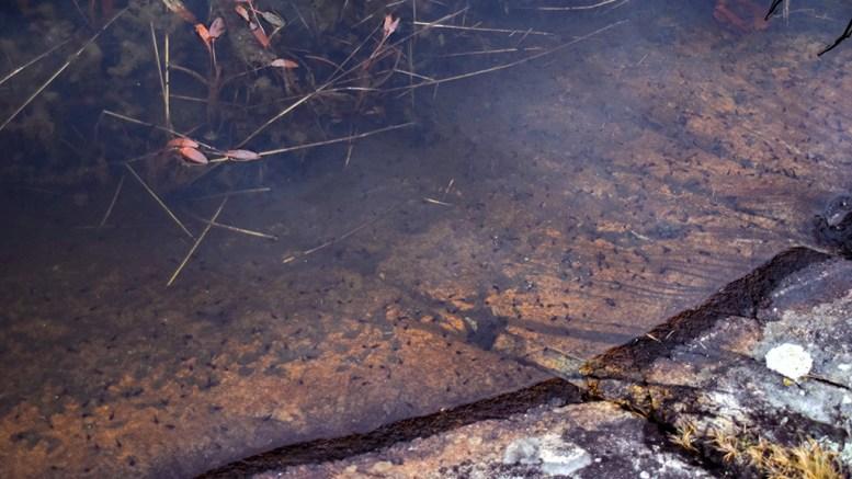 RUMPETROLL: I flere dammer på Tromøy finnes rumpetroll. Nå har Miljødirektoratet satt krav til at det må søkes om og gis tillatelse til å samle dem inn. Arkivfoto