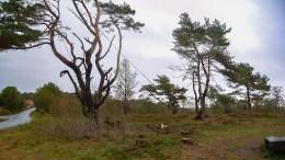 BARDUNERT: Trær ved Gjervoll er sikret med barduner for å redde dem fra vind og uvær. Foto: Esben Holm Eskelund