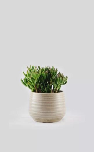 Augalas su vazonuCrassula