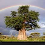BAOBÁ – árvore símbolo fundamental das culturas africanas tradicionais
