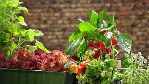 Willkommen auf dem Gemüse-Balkon