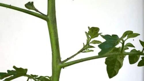 Geiztriebe am Gemüse ausgeizen