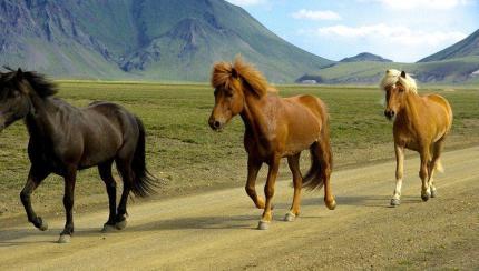 Des chevaux en Islande