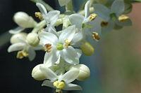 fleur de bach 40