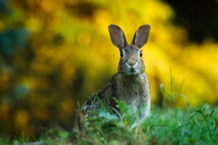 Gli usi di un coniglio