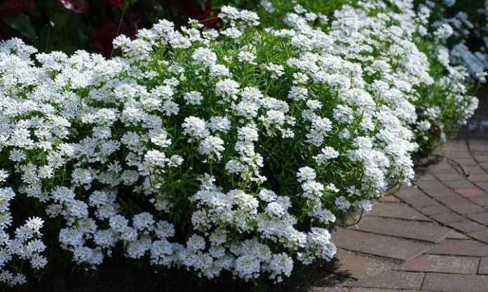 Candytuft piante perenni perenni a crescita facile