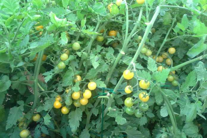 Fertilizzante al pomodoro come nutrire le tue piante per i