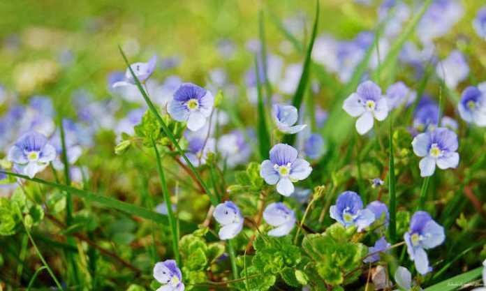 Speedwell strisciante fiori fantasia e copertura densa