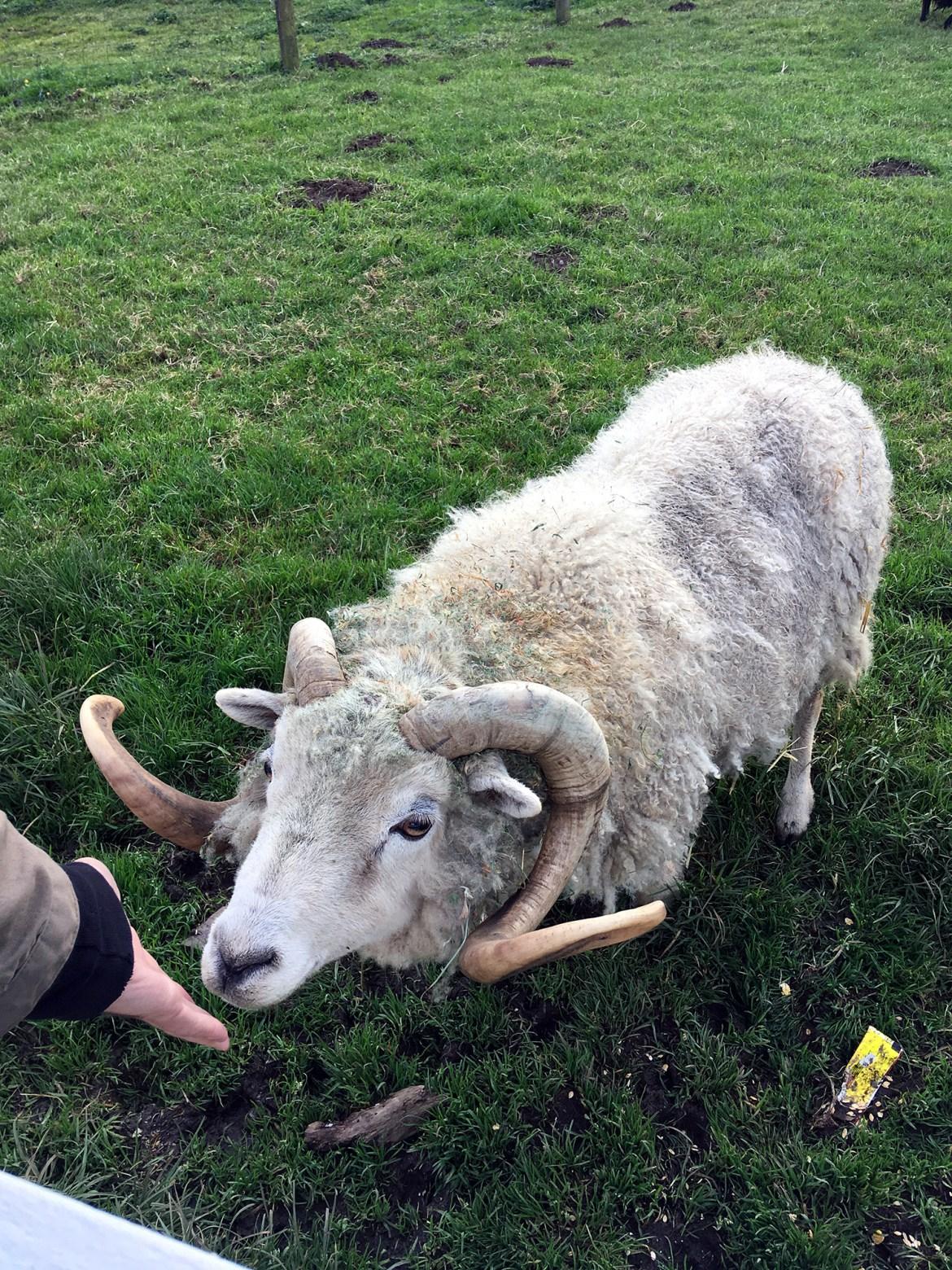 Generic Van Life - Oregon Sheep