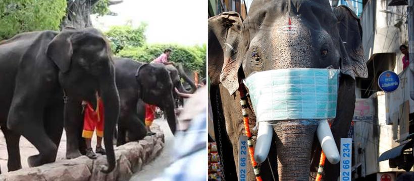 Ini Yang Dilakukan Kepada Gajah Akibat COVID-19 Melanda Thailand 6