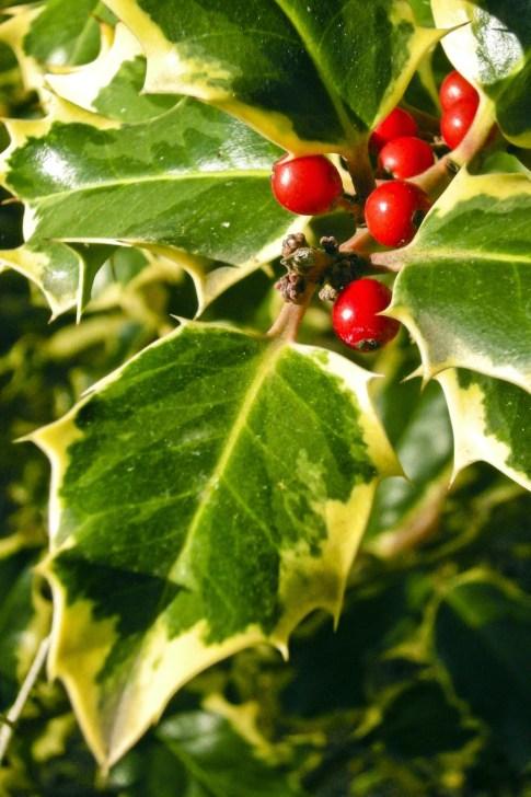 Genitorialmente|Natale agrifoglio vischio portafortuna