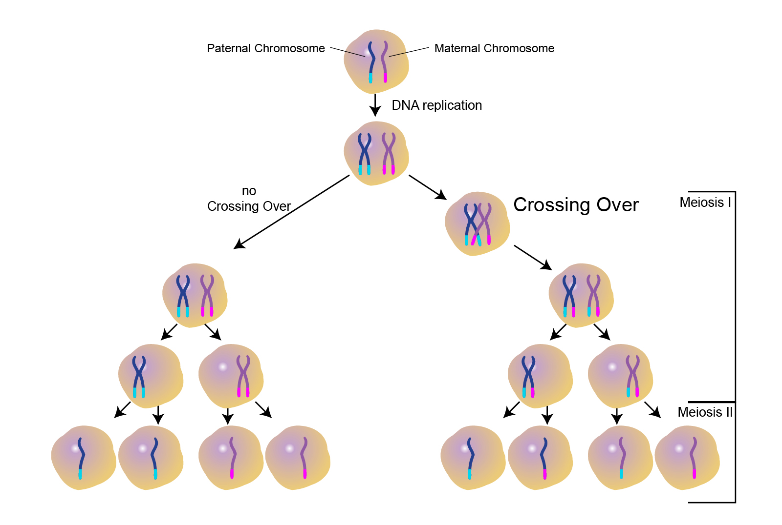 Genetic Makeup Of Meiosis