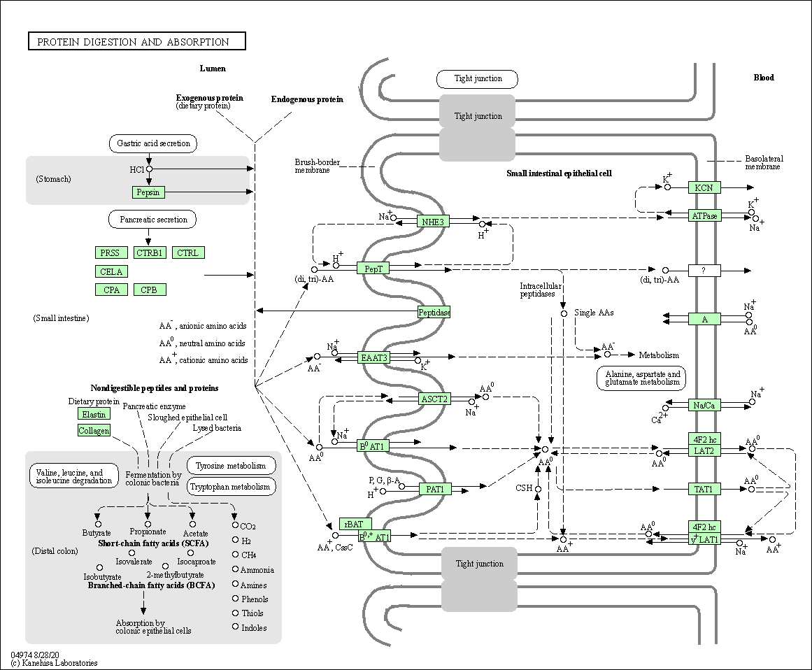 Kegg Pathway Protein Digestion And Absorption