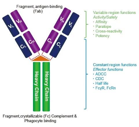 Immunoglobulin G | IgG Antibody-GenScript