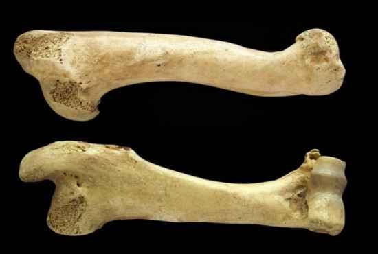 Deer Shoe Bone