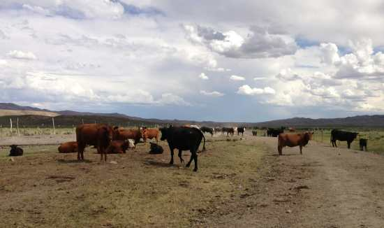 Cattle on a ranch near Elko, Nevada, USA.
