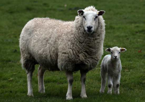 Sheep produce most of the world's wool