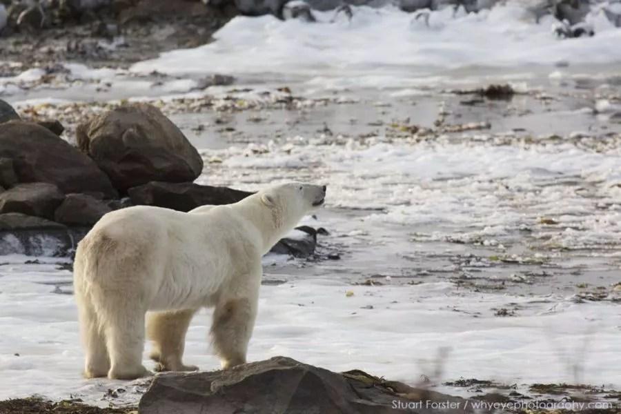 Polar bear Hudson Bay